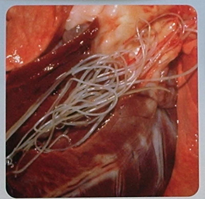 Dospělí parazité nezřídka vyplňují dutiny srdce a velkých cév.