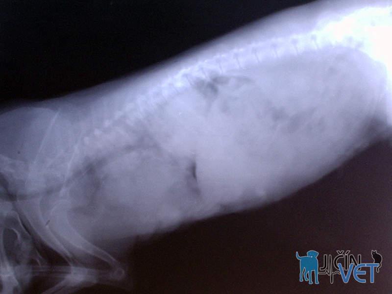 Na rentgenovém snímku hrudníku feny jedenáctiletého křížence je patrné zastínění celého plicního pole vícečetnými plicními nádory, jež sem metastazovaly z mléčné žlázy.